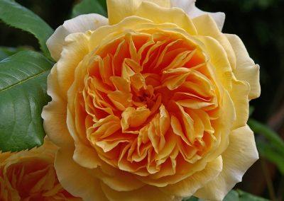 Rosas de Jardín